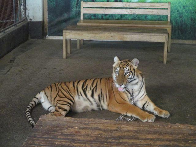 ズービックサファリのトラ