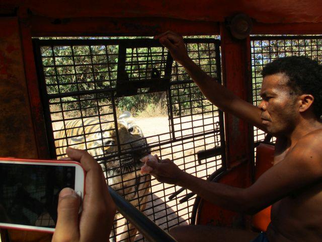 ズービックサファリのトラに餌(1)