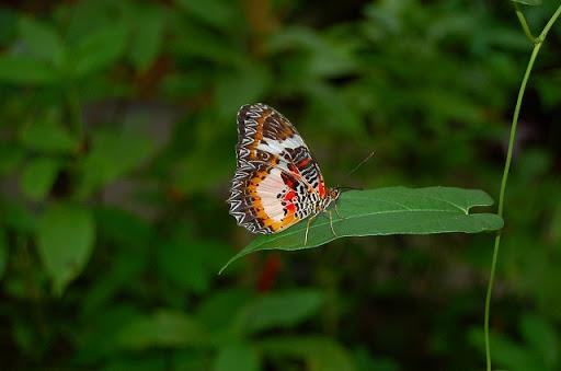 ボホール島・バタフライガーデン なんちゃら蝶