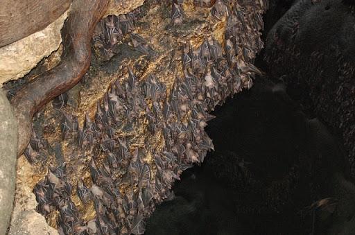 サマール島のフルーツバットの巣(笑