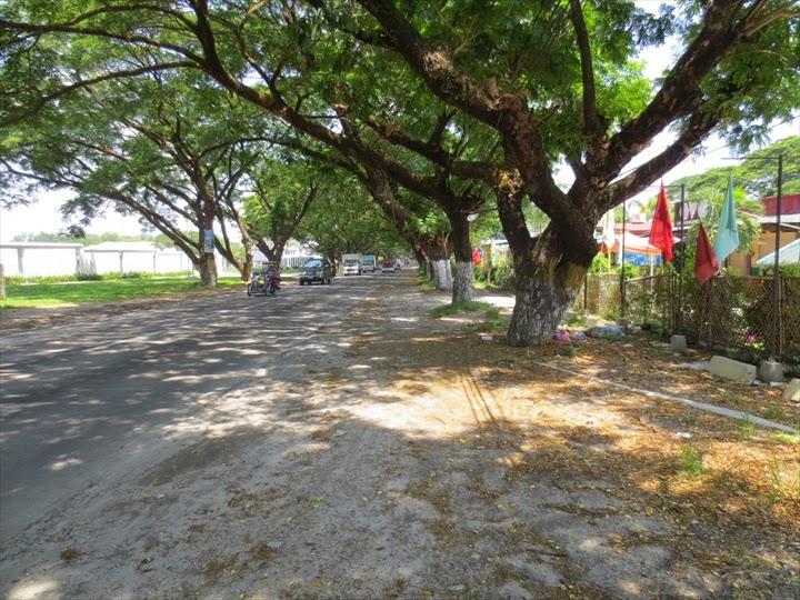 巨木の並木道