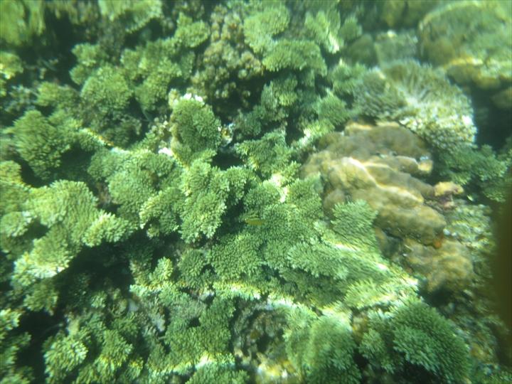 サンゴがメチャ綺麗だったリーフガーデン(9)