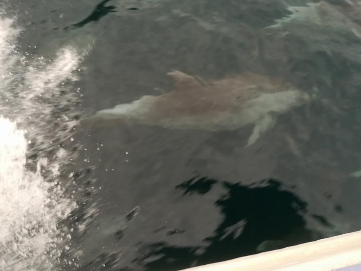 渡船と一緒に泳ぐイルカ